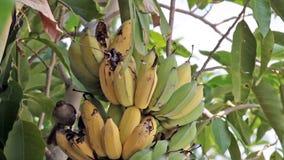 Bird, Bulbul bird eating growing bunch of bananas on plantation, tracking closeup shot high quality footage in HD stock video