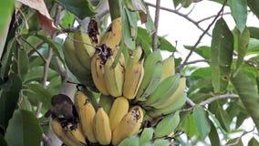 Bird, Bulbul bird eating growing bunch of bananas on plantation, tracking closeup shot high quality footage in HD stock footage