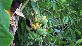 Bird, Bulbul bird eating growing bunch of bananas on plantation, tracking shot high quality footage in HD stock footage