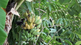 Bird, Bulbul bird eating growing bunch of bananas on plantation, tracking shot high quality footage in HD stock video footage