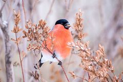 Bird Bullfinch In Beak To Eat Seeds From The Tree In Winter Royalty Free Stock Photography