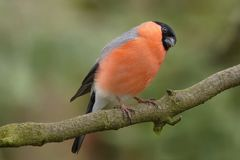 Bird, Bullfinch, Males, Garden Stock Photo