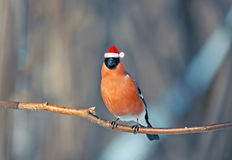 Bird bullfinch in red Santa hat winter Christmas in the Park Royalty Free Stock Photography