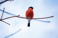 Bird bullfinch sitting on a branch against the blue sky. Bullfinch bird sitting on a branch on blue sky background in winter Royalty Free Stock Photos