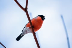 Bird bullfinch sitting on a branch against the blue sky. Bullfinch bird with red breast sits on a branch against the blue sky Stock Photos