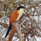 Bird  burchell coucal Stock Photography