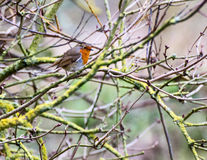 Bird in a Bush. European robin perched in amongst the branches of a small bush Stock Photos