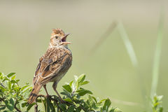 Bird on a bush with open beak. A Rufous-naped Lark perched on a green bush with beak wide open Stock Images