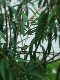 Bird in the bush. Two Sparrows singing in the flower bush royalty free stock photos