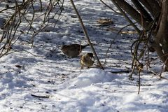 Bird in the bushes during winter. Slovakia Stock Photos