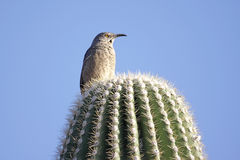 Bird On A Cactus Stock Image