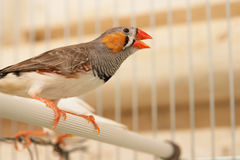 Bird in cage. Little bird sing in her cage Royalty Free Stock Image