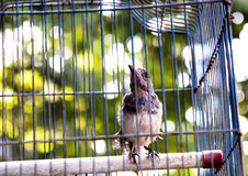 Bird in the cage. A little bird looking outside in the cage,as it hopping to be free Royalty Free Stock Photo