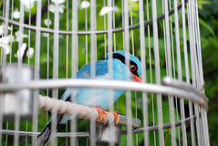 Bird in cage. A blue bird in his cage Royalty Free Stock Images
