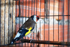 A bird in the cage. Wild bird caught and put in the cage Stock Photo