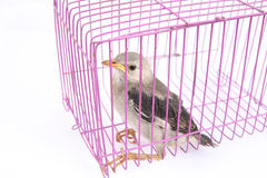 Bird in cage. With white background royalty free stock photos