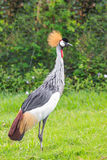 A bird called african crowned crane. A bird, african crowned crane or Balearica regulorum, on the green grass field Stock Photos