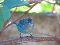Bird called Celestino Celestino. Bird named Celestino Celestino. Light blue birds clinging to a branch of a tree. Fruit birds. Thraupis sayaca. Bird distributed royalty free stock photos