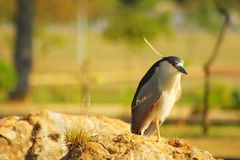A bird called Savacu on a rock. royalty free stock photography