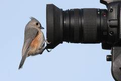 Bird On A Camera. Tufted Titmouse (baeolophus bicolor) on a camera lens Royalty Free Stock Image