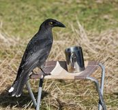 Bird with camping mug. Crow perched on small collapsible stool next to metal camping mug Stock Images