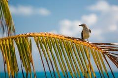 Bird in Cancun. Beautiful bird on the palm tree in Cancun Stock Photography