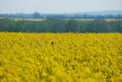 Bird on canola field Royalty Free Stock Image