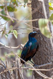 Bird Cape starling, Okavango, Botswana Africa Stock Photography