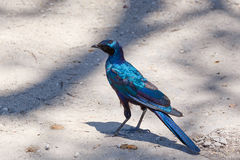 Bird Cape starling, Okavango, Botswana Africa Stock Photos