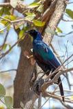 Bird Cape starling, Okavango, Botswana Africa Stock Image