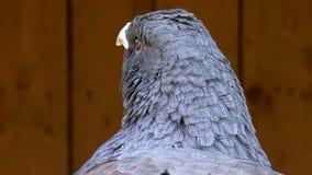 Bird, Capercaillie stock video