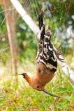 Bird captured. In the mist net Stock Photos