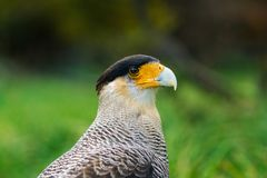 Bird of the Caracara in the Torres del Paine National Park. Autumn in Patagonia, the Chilean side. Bird of the Caracara National Park Torres del Paine. Autumn in Stock Images