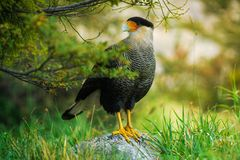 Bird of the Caracara in the Torres del Paine National Park. Autumn in Patagonia, the Chilean side. Bird of the Caracara National Park Torres del Paine. Autumn in Royalty Free Stock Photos