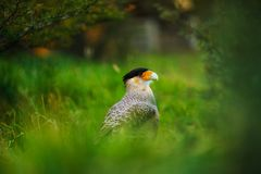 Bird of the Caracara in the Torres del Paine National Park. Autumn in Patagonia, the Chilean side.  Royalty Free Stock Image