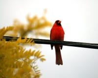 Bird Cardinal Royalty Free Stock Photo