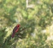 Bird-2 cardinal Photos stock