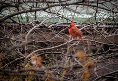 Bird cardinal do norte masculino no Central Park - New York, EUA imagens de stock royalty free