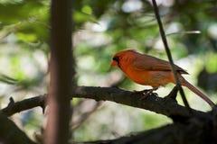 Bird cardinal em um brach imagens de stock