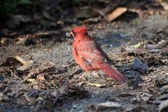 Bird cardinal masculino Foto de archivo libre de regalías