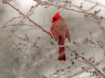 Bird cardinal perched a male Stock Photography