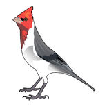 Bird Cardinal Red Heads painted on a white background. Vector illustration. Royalty Free Stock Images