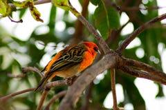 Bird cardinal rojo que se sienta en ?rbol tropical foto de archivo