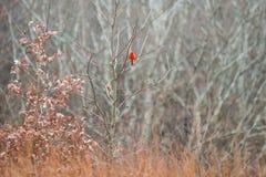 Bird cardinal rouge en parc d'état naturel en hiver images libres de droits