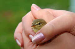 Bird in caring hands. Wild bird in caring hands stock image