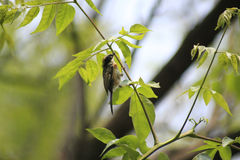 Bird. A bird carrying the leaves Royalty Free Stock Images