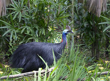 Bird the cassowary Stock Photo
