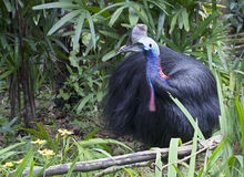 Bird the cassowary. All cassowaries — birds are impressive, and each species is beautiful in its own way. The plumage is very loose and soft resembling the fur Stock Photography