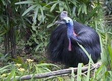 Bird the cassowary Stock Photography