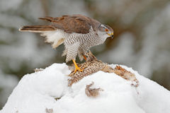 Bird with catch pheasant. Bird of prey Goshawk kill bird and sitting on the snow meadow with open wings, blurred snowy forest in b Royalty Free Stock Photography
